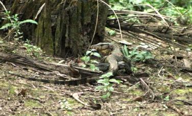 a monitor lizard, also found at my backyard (photo: joko guntoro)