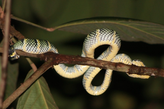 adult Tropidolaemus wagleri (photo: joko guntoro)