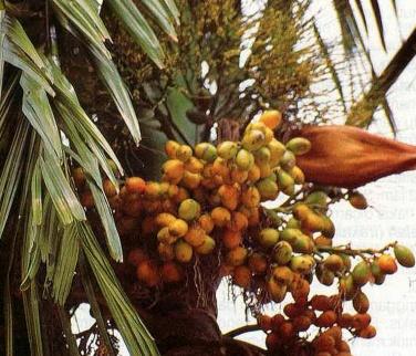 Fruit Pinang