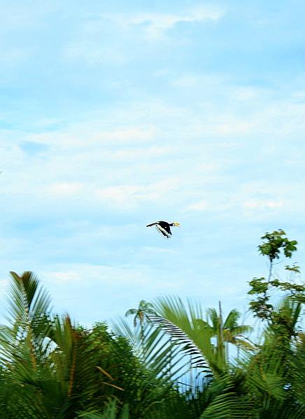 great hornbill flying infront of us (photo credit: joko guntoro)