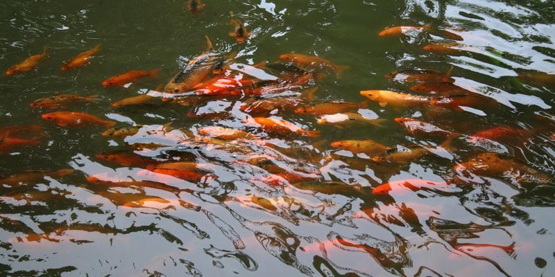 gold fish in a pond with waterlily (photo credit: joko guntoro)