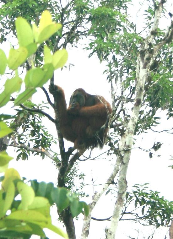 yes, that is right, that is Sumatran Orangutan. Unfortunately, i did not bring my tele zoom lens :-( (photo: joko guntoro)