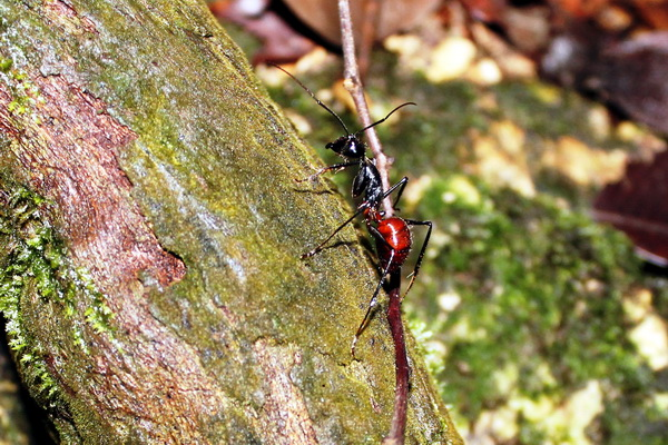 ants (photo: joko guntoro)