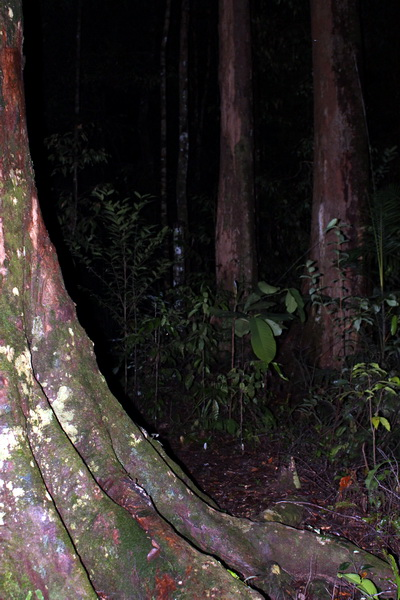 forest in the night, habitat for herpetofaunas (photo: joko guntoro)