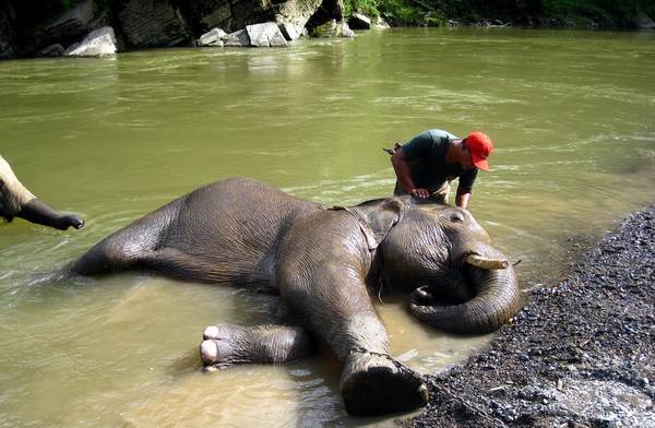 mahout (keeper of elephant) is bathing an elephant (photo credit: joko guntoro)