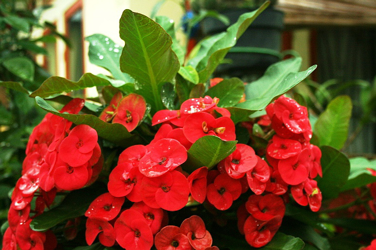 Euphorbia Plant Can Cause Cancer Euphorbia Plant Can Cause