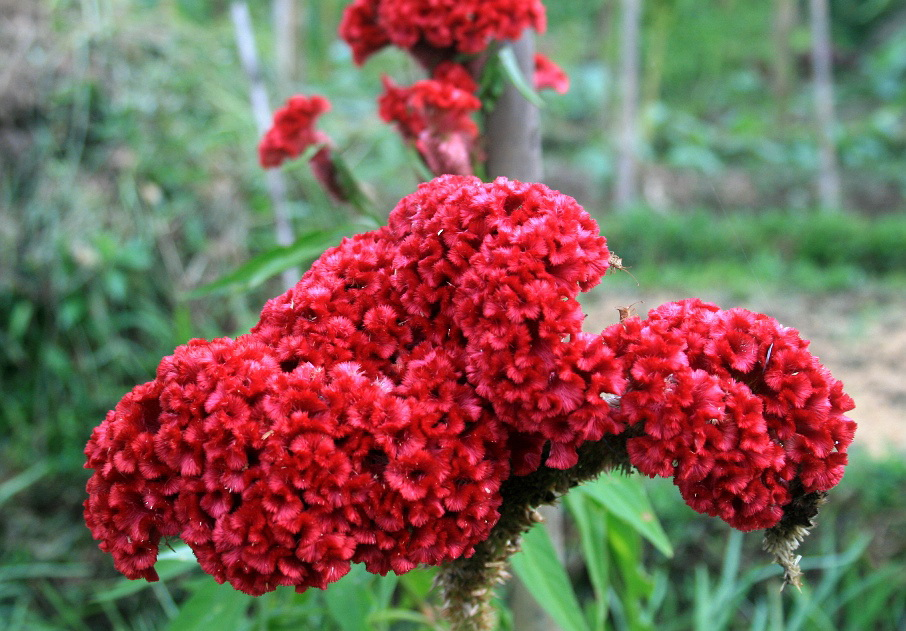 red cockscomb (genus Celosia, called Jengger ayam in Indonesia)