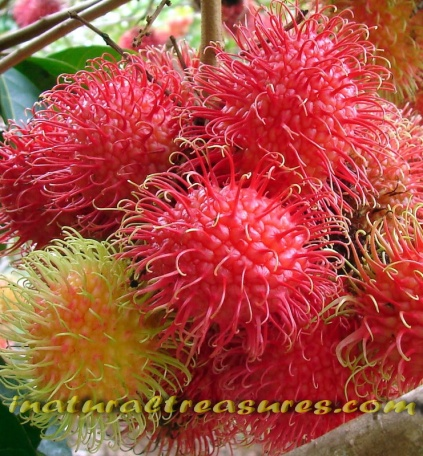 fruit Rambutan